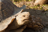 Sulcata Tortoise in mini zoo — 图库照片