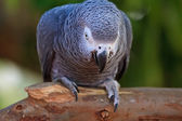 The African Grey Parrot (Psittacus erithacus) — Stock Photo