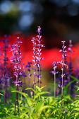 Purple lavender flowers in the field — Stock Photo