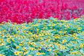 Flower in garden of thailand — Stock Photo