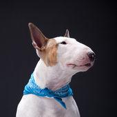 Bull Terrier — Stock Photo