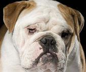 Bulldog in studio — Stockfoto