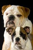 Bulldogs in studio — Stockfoto