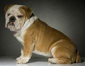 Bulldog in studio — Foto de Stock
