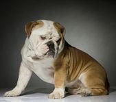Bulldog in studio — Stock Photo