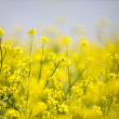 Oilseed rape — Stock Photo #41207409