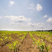 молодая кукуруза растения на кукурузном поле ранней весной — Стоковое фото