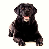 Labrador sitting on an isolated background — Stockfoto