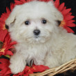 Maltese Puppy — Stock Photo #35123847