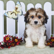 Super Cute Cavachon Puppy — Stock Photo
