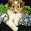 Stock Photo: Sheltie Puppy