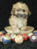 Cute Buff Puppy — Stock Photo