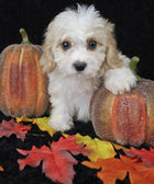Fall Cavachon Puppy — Stock Photo
