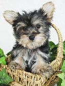 Sweet Little Yorkie Puppy — Stock Photo