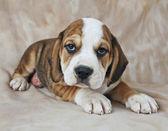 Cute Beagle Puppy — Stock Photo
