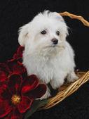 Maltese Puppy — Stock Photo