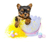 Yorkie Puppy in Easter Basket — Stock Photo