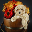 Sweet Buff Puppy With Fall Flowers — Stock Photo