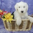 Stock Photo: Old English Sheepdog Puppy