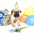 Birthday Shar pei — Stock Photo