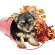 Stock Photo: Yorkie Puppy