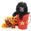 Black Poodle — Stock Photo