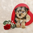 Stock Photo: Cute Morkie Puppy