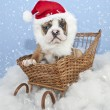 Silly Santa Bulldog Puppy — Stock Photo