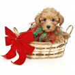 Christmas Poodle — Stock Photo