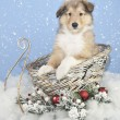 Sweet Collie Puppy — Stock Photo