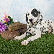 Dalmatian Puppy — Stock Photo