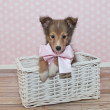 Sheltie Puppy — Stock Photo