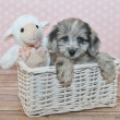 Stock Photo: Cute Little Assie-Poo Puppy