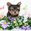 Stock Photo: Yorkie Puppy With Butterflies