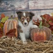 Fall Sheltie Puppy — Stock Photo