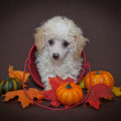 Sweet Fall Poodle Puppy — Stock Photo