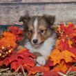 Little fall Sheltie — Stock Photo