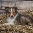 Stock Photo: Little Sheltie puppy