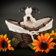 Cute Boston Terrier Puppy — Foto de Stock