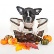 Fall French Bulldog — Stock Photo