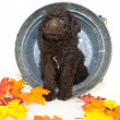 Fall Poodle — Stock Photo