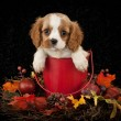 King Cavalier Puppy — Stock Photo