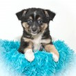 Cute Aussie Puppy — Stock Photo #35516631