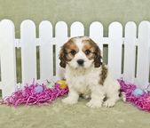 Easter Cavachon Puppy — Stock Photo