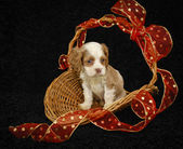 Christmas Puppy — Stock Photo