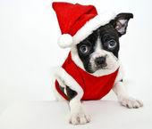Boston Terrier Wearing a Santa Suit — ストック写真