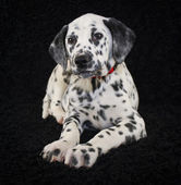милый щенок далмация — Стоковое фото