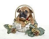 Weihnachten Welpen — Stockfoto