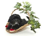 Cute Black and White Puppy — Stockfoto