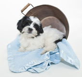 Seet küçük siyah beyaz köpek yavrusu — Stok fotoğraf